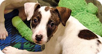 American Pit Bull Terrier/Cocker Spaniel Mix Puppy for adoption in Howell, Michigan - Tess
