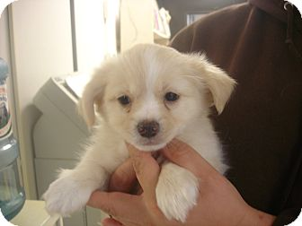 Pekingese/Pomeranian Mix Puppy for adoption in baltimore, Maryland - Shoestring