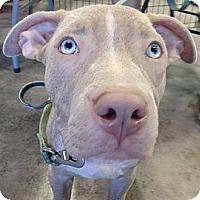 Adopt A Pet :: Pepper - Hollywood, FL