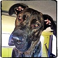 Adopt A Pet :: Huey - Broomfield, CO