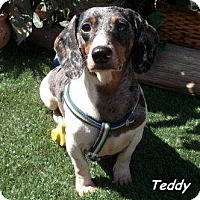 Adopt A Pet :: Teddy - Chandler, AZ