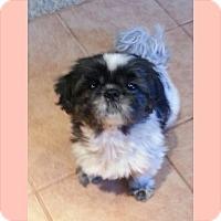 Adopt A Pet :: Bella - Ascutney, VT