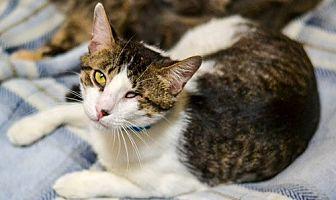 Domestic Shorthair Cat for adoption in Dallas, Texas - FREDDY