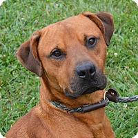 Adopt A Pet :: Taz - Springfield, IL