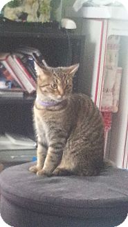 Domestic Shorthair Cat for adoption in Warren, Michigan - Ireland