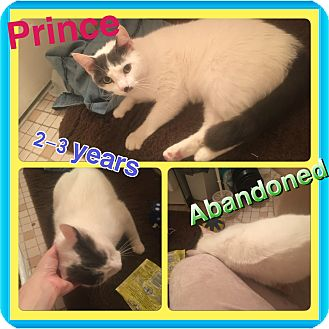 Domestic Shorthair Cat for adoption in Brentwood, New York - Prince