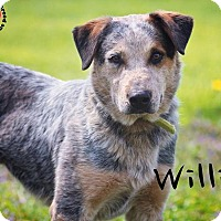 Adopt A Pet :: Willie - Joliet, IL