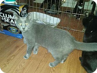 Domestic Shorthair Kitten for adoption in Delmont, Pennsylvania - Matthew