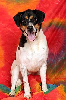 Cattle Dog/Terrier (Unknown Type, Medium) Mix Dog for adoption in St. Louis, Missouri - Si Cattle Dog Terrier