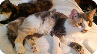 Calico Kitten for adoption in Chesterfield, Virginia - Chickie