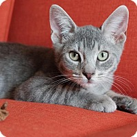 Adopt A Pet :: Dill - Brooklyn, NY