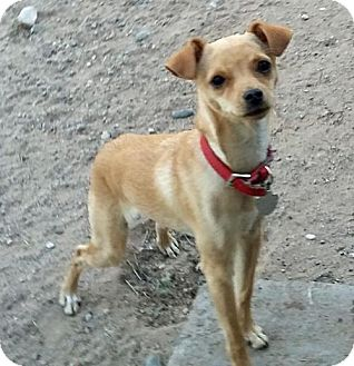Chihuahua Mix Dog for adoption in Peralta, New Mexico - **BUTTERSCOTCH