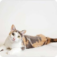 Calico Cat for adoption in DFW Metroplex, Texas - Abigail