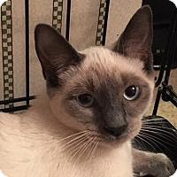 Siamese Kitten for adoption in Wayland, Michigan - Mahjah