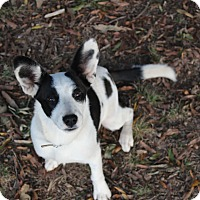 Collie Mix Puppy for adoption in Monroe, North Carolina - Holly