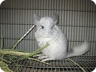 Chinchilla for adoption in Lancaster, California - Chinchilla