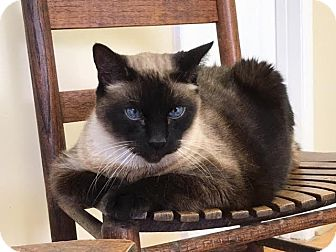 Siamese Cat for adoption in Nashville, Tennessee - Mojo **Declawed**