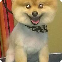 Pomeranian Dog for adoption in Horn Lake, Mississippi - ZCL Hunter