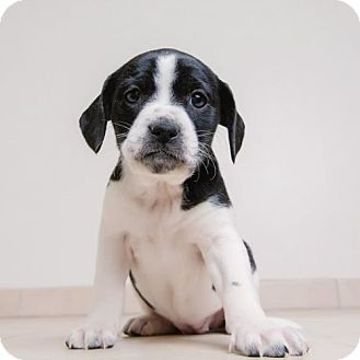 Hound (Unknown Type) Mix Puppy for adoption in Edina, Minnesota - Dusti D161944: NO LONGER ACCEPTING APPLICATIONS