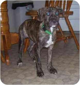 Great Dane/Boxer Mix Puppy for adoption in Chandler, Indiana - Rugar