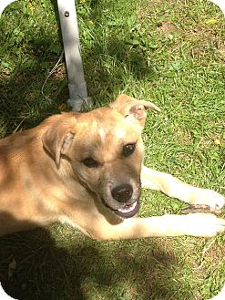 Boxer/German Shepherd Dog Mix Puppy for adoption in Hollis, Maine - Snickers *Courtesy post*