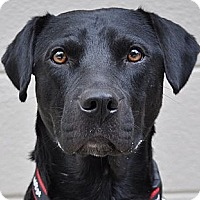Labrador Retriever Mix Dog for adoption in Atlanta, Georgia - Reynolds