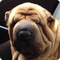 Adopt A Pet :: Harley - Barnegat Light, NJ
