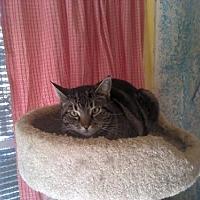 Domestic Shorthair Cat for adoption in Sherman Oaks, California - Donna