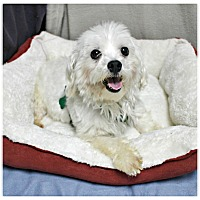 Adopt A Pet :: Snowball - Forked River, NJ