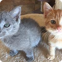 Adopt A Pet :: Tangilo - Encinitas, CA