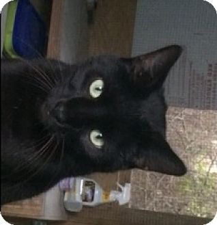 Domestic Shorthair Cat for adoption in Mobile, Alabama - Poe
