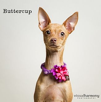 Chandler, AZ - Chihuahua/Italian Greyhound Mix. Meet ...