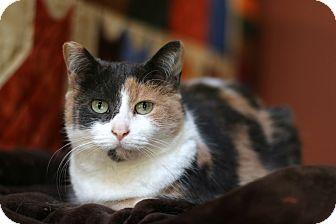 Domestic Shorthair Cat for adoption in New Prague, Minnesota - Pandora