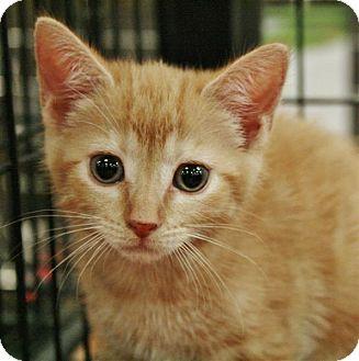 Domestic Shorthair Kitten for adoption in Fairfax Station, Virginia - Mac
