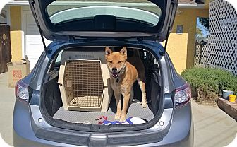 Jindo Dog for adoption in Los Angeles, California - George