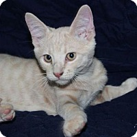 Adopt A Pet :: Ash - Mesa, AZ