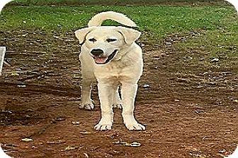 Great Pyrenees/Anatolian Shepherd Mix Dog for adoption in Kyle, Texas - Vernon