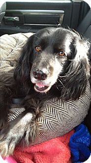 Spaniel (Unknown Type) Mix Dog for adoption in Toronto/GTA, Ontario - SAMMY