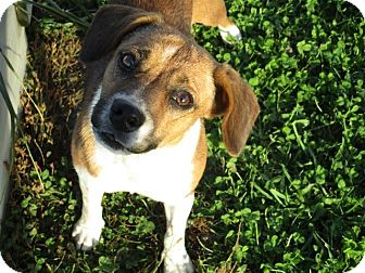 Beagle Mix Dog for adoption in Liberty Center, Ohio - Meggie