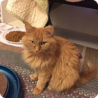 Domestic Longhair Cat for adoption in South Bend, Indiana - Amber