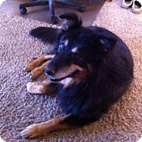 Bernese Mountain Dog/Australian Shepherd Mix Dog for adoption in Ogden, Utah - Bernie