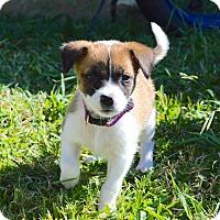 Adopt A Pet :: Khloe - Aubrey, TX
