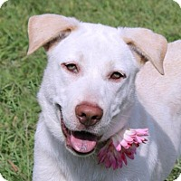 Adopt A Pet :: Snowball - Loxahatchee, FL