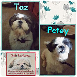 Shih Tzu Dog for adoption in Fort Wayne, Indiana - Taz & Petey