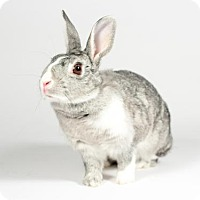 Adopt A Pet :: Pebbles - Kingston, ON