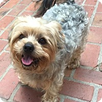 Adopt A Pet :: Chewie - Atlanta, GA
