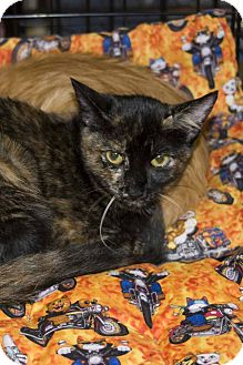 Domestic Shorthair Cat for adoption in New Port Richey, Florida - Tortie