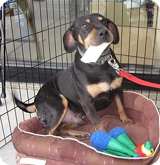 Black and Tan Coonhound/Basset Hound Mix Dog for adoption in Lincolnton, North Carolina - Peanut