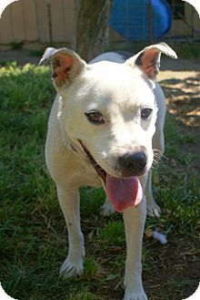 American Pit Bull Terrier Mix Dog for adoption in Yuba City, California - 05/01 Starla