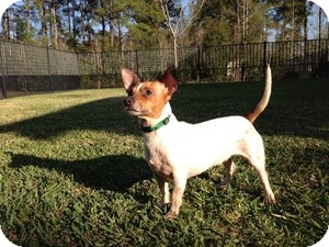 Rat Terrier/Jack Russell Terrier Mix Dog for adoption in Kingwood, Texas - Chelsea